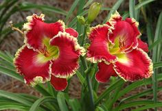 Fighting Fire. Daylily. Best Rebloomers this Season