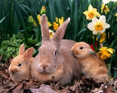 Mamma rabbit taking a nap with baby bunnies in a field of daffodils. Rabbits For Sale, Pets For Sale, Baby Bunnies, Cute Bunny, Easter Bunny, Bunny Rabbits, Bunny Bunny, Cutest Bunnies, Beautiful Creatures