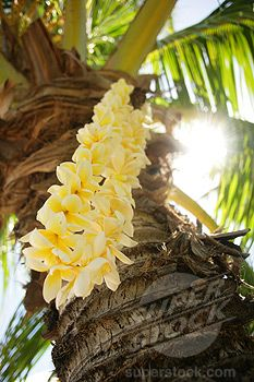 Sri Rusden Premium Thick-Wrap Canvas Wall Art Print entitled Hawaii, Close-Up Of A Yellow Plumeria Lei Hanging From A Palm Tree, None Exotic Flowers, Tropical Flowers, Beautiful Flowers, Palm Tree Art, Palm Trees, Tropical Vibes, Tropical Paradise, Hibiscus, Best Smelling Flowers