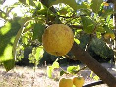 Harrison vintage cider apple. One of the most renowned American cider apples.