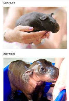 guinea pig & a baby hippo, or as I've been told - this is actually a hairless breed of guinea pig!