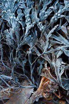 Samantha Gibbons: Frosty seaweed