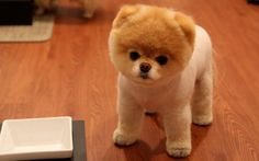 What is the smallest dog breed in the world? #smallbreed #dogbreed