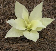 Hosta Miss Moonbeam - small family from white feathers www.hostacollectie.be