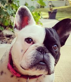 Two face Frenchie