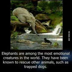 Elephant : A emotional creature