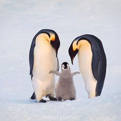 """Photo by @FransLanting """"Family"""" The announcement that the world's largest marine protected area has been declared off Antarctica is a momentous occasion. It's twice the size of Texas—600,000 square miles—and it will be protected from commercial fishing and mineral extraction for 35 years. We can all be happy about it, and so can every penguin living down there. I am delighted to post this image in honor of the people and organizations who made this protection happen. We salute you! But I…"""