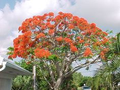 Poiciana Tree..Cayman Islands