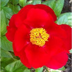 Peony blooming in my garden!