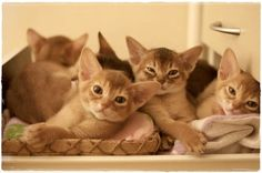 aby kittens Love Abyssinians...