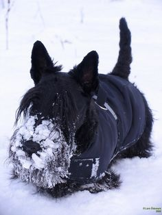 They're not afraid to get a little chilly. | 21 Reasons Scottish Terriers Are The Champions Of Our Heart