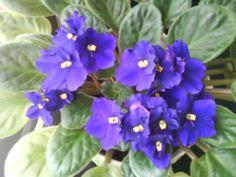 African Violets .