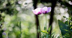 June Days, Light Side, Garden Plants, Lighter, Poppies, Summer, Summer Time, Poppy, Poppy Flowers