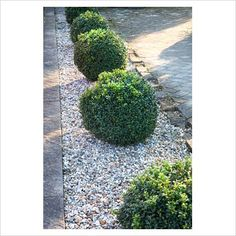 Topiary Box balls - GAP Photos - Specialising in horticultural photography