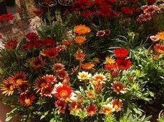Η γκαζάνια με τα πελώρια λουλούδια της | Κηπολόγιο Crafts For Kids, Home And Garden, Flowers, Plants, Color, House, Gardening, Country, Decoration