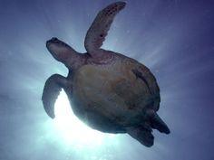Turtle #moretonisland #snorkellingmoretonisland