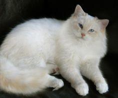 Ragdoll Cats and Kittens, Colorado, Colorado Ragdoll Cats....cream