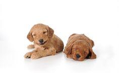 Smiling Puppy from #Smeraglia #EnglishTeddyBearDoodle #DoodleDynasty #GodPeopleDogs #StrictlyDoodles