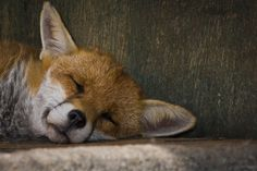 Sleeping Fox (by Davey J Hotspur)