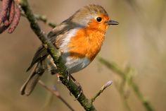 Robin Tattoo, Robin Bird, Bird Feathers, Birds, Wrens, Robins, Painting, Google Search, Image