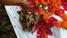World's Oldest Tigress Passes Away https://plus.google.com/+KevinGreenFixedOpsGenius/posts/e4t622azsdy