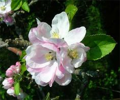 Apple Blossom...  Arkansas State Flower.