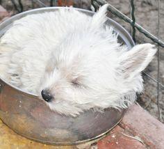 West Highland Terrier Sleeping in a Metal Bath Tub