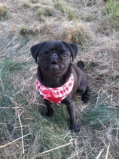 Red frilly soft wagytail harness Available at www.ilovepugs.co.uk post worldwide