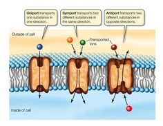 Talk2Bio Passive and active cellular transport