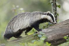 Znalezione obrazy dla zapytania European badger