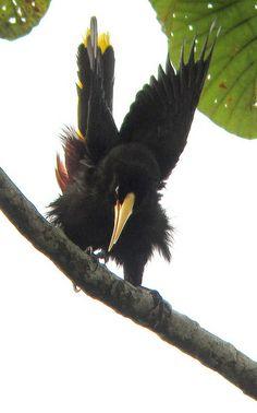 Crested Oropendola - Psarocolius decumanus 2 - Uraba, Caribbean Lowlands | Colombia