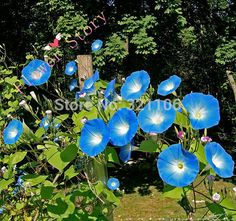 Cheap garden pond, Buy Quality seed garden directly from China garden plant seeds Suppliers: 200 Heavenly Blue Morning Glory Seeds---DIY Home Garden Vine Plant, Gorgeous Color,Free ShippingHow to Plant Mornin