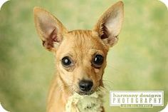 Nashville, TN - Chihuahua. Meet Bambi, a dog for adoption. http://www.adoptapet.com/pet/12977577-nashville-tennessee-chihuahua
