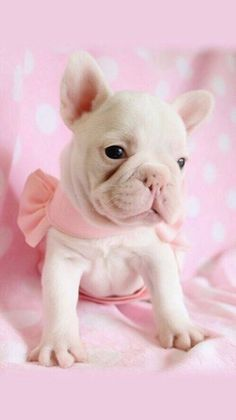 French Bulldog Frenchie Puppiesfor sale at TeaCups Puppies in South Florida! Browse beautiful French Bulldog puppies here. Cute Little Puppies, Cute Puppies, Cute Dogs, Dogs And Puppies, Doggies, Teacup Puppies, Baby Dogs, Cute French Bulldog, French Bulldog Puppies