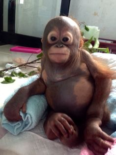 Budi | Animals | Orangutan Rescue | International Animal Rescue