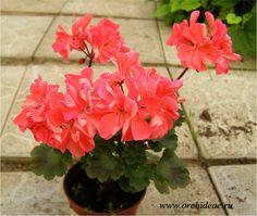 Chelsworth  Описание: Кораллового цвета махровые цветы, маленький плотненький кустик, игрушечка