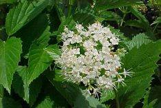 Native Maine plant for a woodland border - Arrowwood viburnum is an upright, rounded, multi-stemmed, deciduous shrub which typically matures to tall with a similar spread, but may reach a height of in optimum growing conditions. Missouri Botanical Garden, Botanical Gardens, Shade Plants, Cool Plants, Shade Garden, Garden Plants, Flower Gardening, Deer Resistant Garden, Plant Zombie