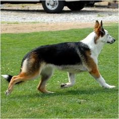 "This is a Panda German Shepherd. A regular 100% pure breed German shepherd, but with a coloring called ""Panda."" Crazy."
