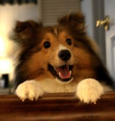 Wow this Sheltie looks like Trixie and has exactly the same expression! Those bright button eyes are so full of intelligence and love!