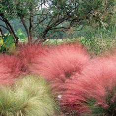 Muhlenbergia capillaris Pink Muhly Grass my latest grass love- so fluffy