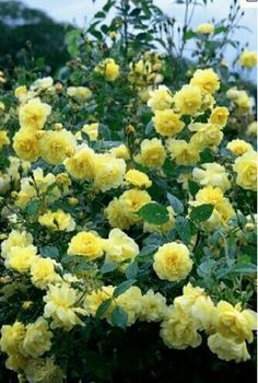 yellow knockout roses - Google Search