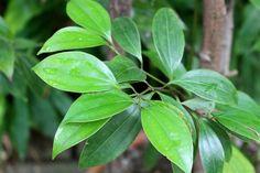 planta de la canela
