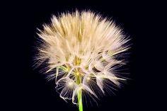 Sjeme maslačka, Maslačak ljekovita biljka (24)