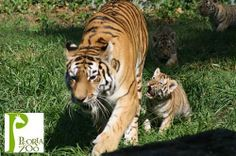 Rawr, mom!  Amur tiger cubs.