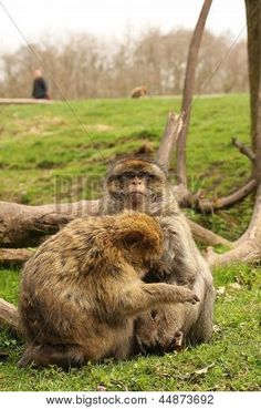 Barbary macaques grooming.