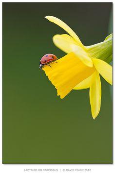 Daffodil and LadyBug
