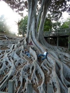 Tree Roots at Balboa Park, San Diego, California.