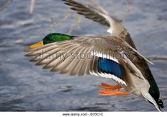 Image result for duck wings design