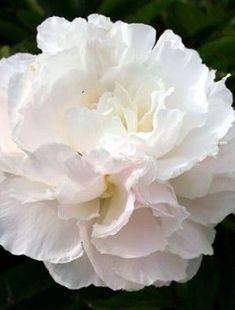 Peony 'Shirley Temple' I love they named this after Shirley Temple (a young, adorable girl actress)jsc