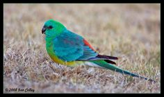 Red-rumped Parrot   ... galleries >> Australian Parrots & Cockatoos > Red Rumped Parrot - Male